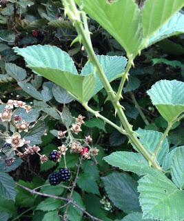 boysenberries1