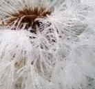 dandelion-fluff1