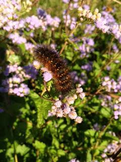 black-fuzzy-worm1
