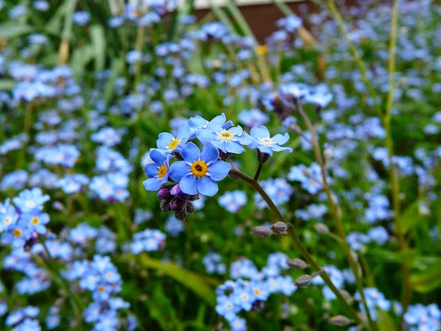 forget-me-not-3965_6401