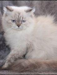 Cat - Jewel