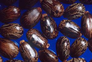 Castorbeans