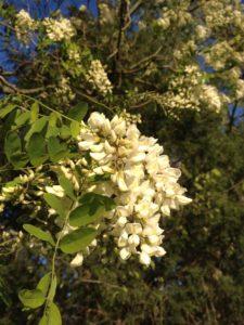 Locust blooms