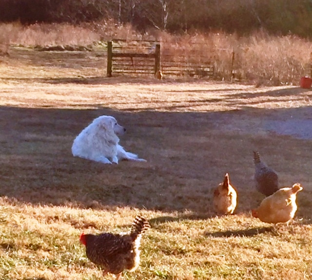 A Hen, a Dog, a Story   Ann H  Gabhart
