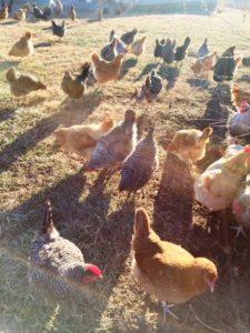A Hen, a Dog, a Story | Ann H  Gabhart
